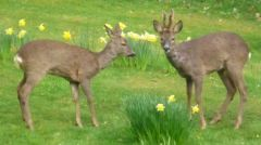 Visiting deer in the garden